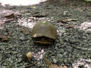 We've been running into these turtles on trail 5 lately. Must be nice to be able to create your own shade!