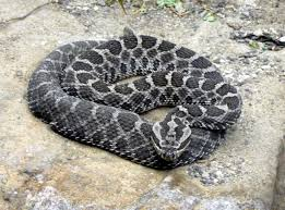 The Eastern Massasauga rattlesnake is the only poisonous snake native to northeast Indiana -- and it's on the endangered species list.