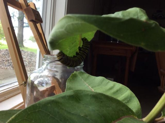 One day later, having moved on to yet another milkweed plant.