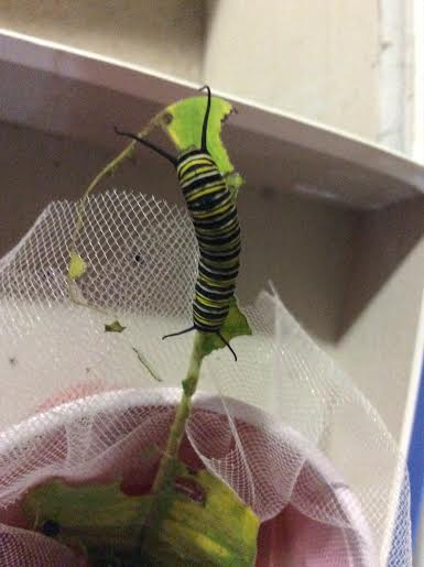 Uh oh. It's the middle of the night and our maniacal caterpillar has eaten himself out of another milkweed plant!