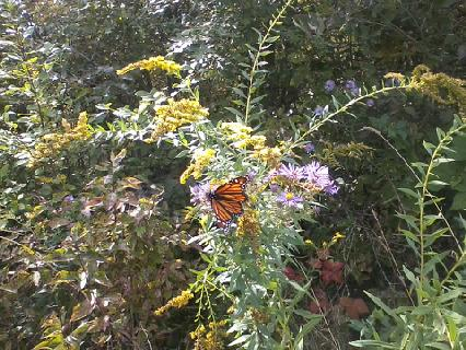 This monarch was hanging out in the meadow portion of Norwell's middle school cross country course.